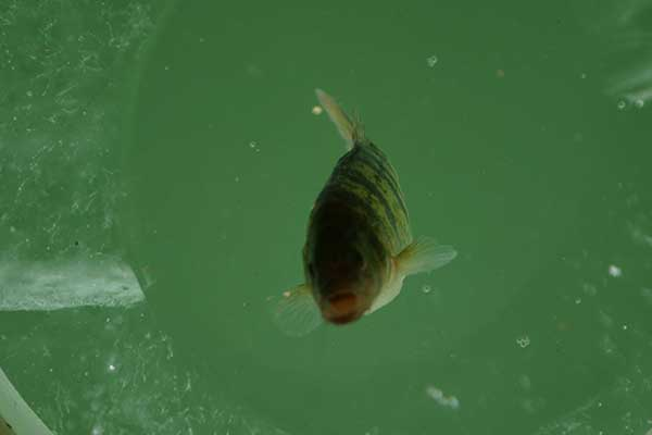 perch-fishing-eddys-resort
